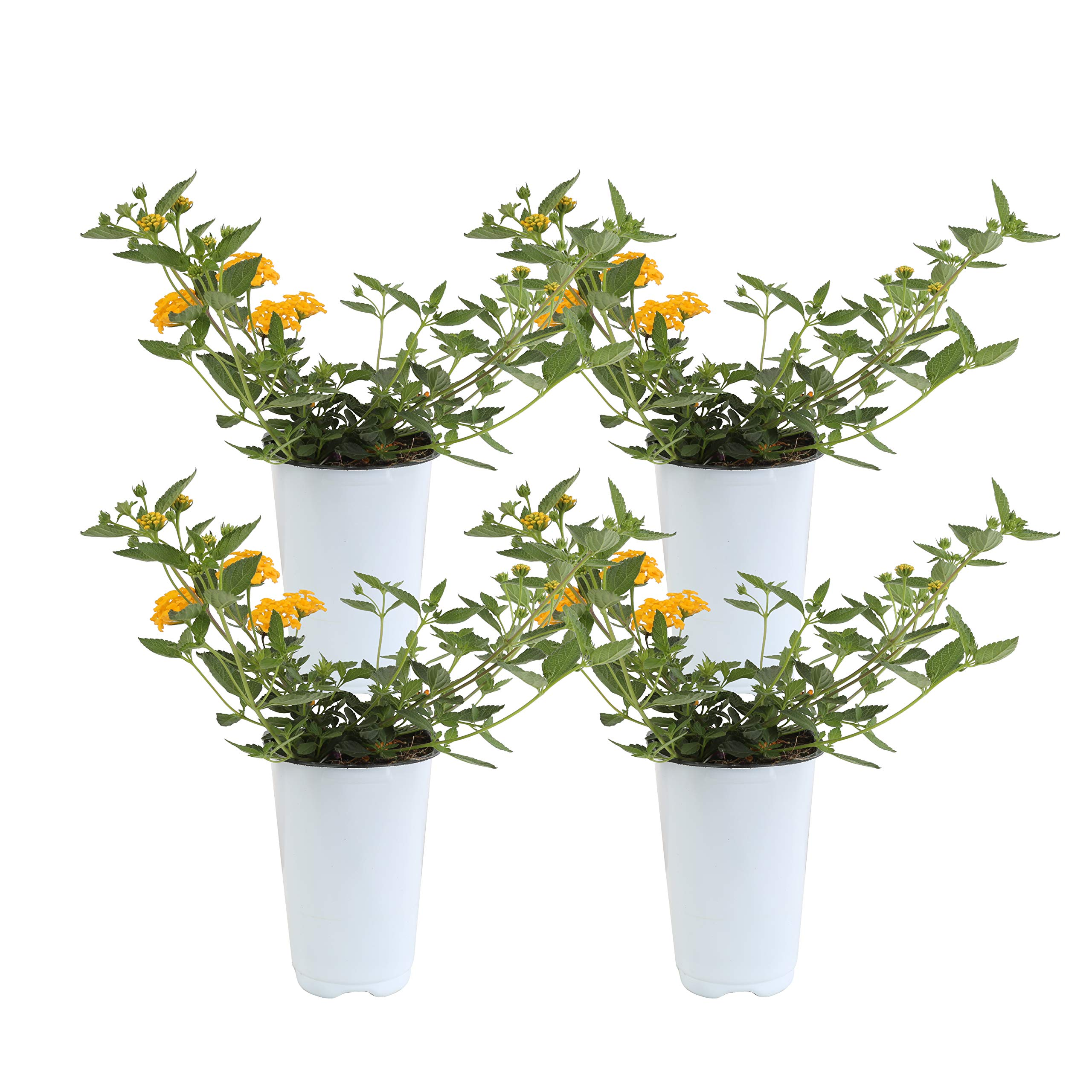 Costa Farms Live Premium Lantana Plant 1.00 qt Grower Pot, 4-Pack Yellow