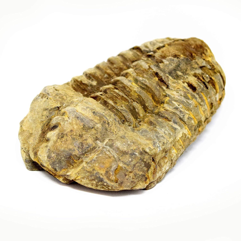 Calymene Trilobite Fossil 400 Million Years Old TeachTastic