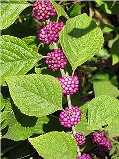 Callicarpa Japonica Leucocarpa Japanese White Beauty berry Bush seed 100 SEEDS