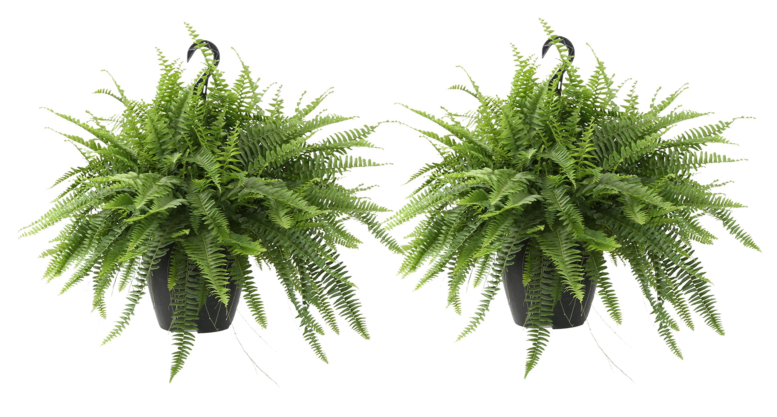 Costa Farms Home Décor, Premium Live Boston Fern Hanging Basket, 2-Pack, Direct from Farm by Costa Farms