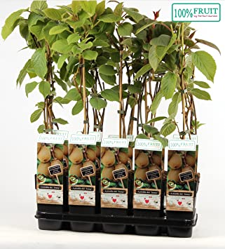 Kiwi Jenny 30 cm Actinidia chinensis Jenny selbstfruchtend//selbstbefruchtend