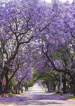Jacaranda mimosifolia Scenic Photography morado flor árbol Romántica primavera calle telón de fondo para estudio fotográfico