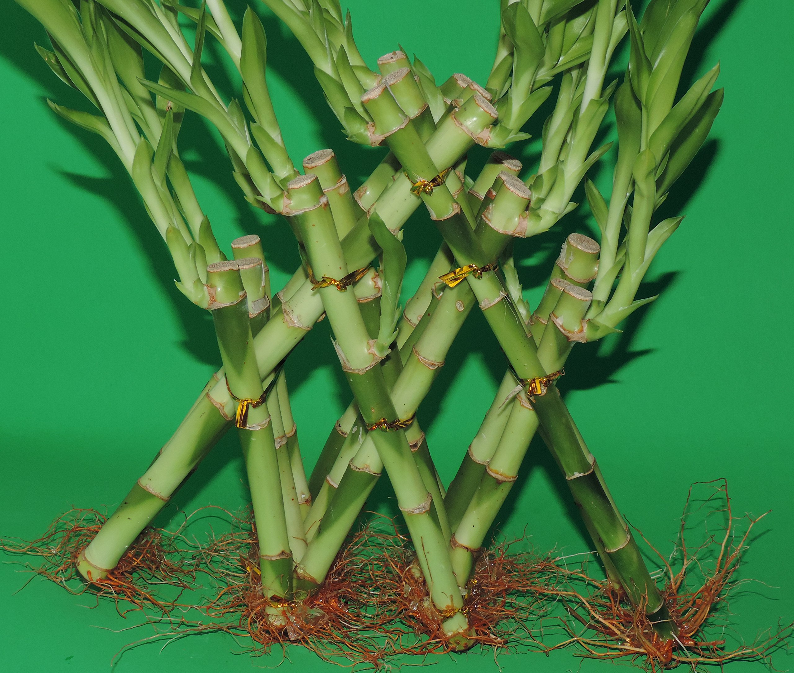 Lucky Bamboo-3 Tier Pyramid 6'' 8'' 10'' TOP Total About 18 Stalks 12 Inches Tall From Jmbamboo