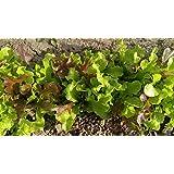 1,000 Seeds Lettuce Blend #2, Mix of 4, Lettuce, Garden, Non-GMO