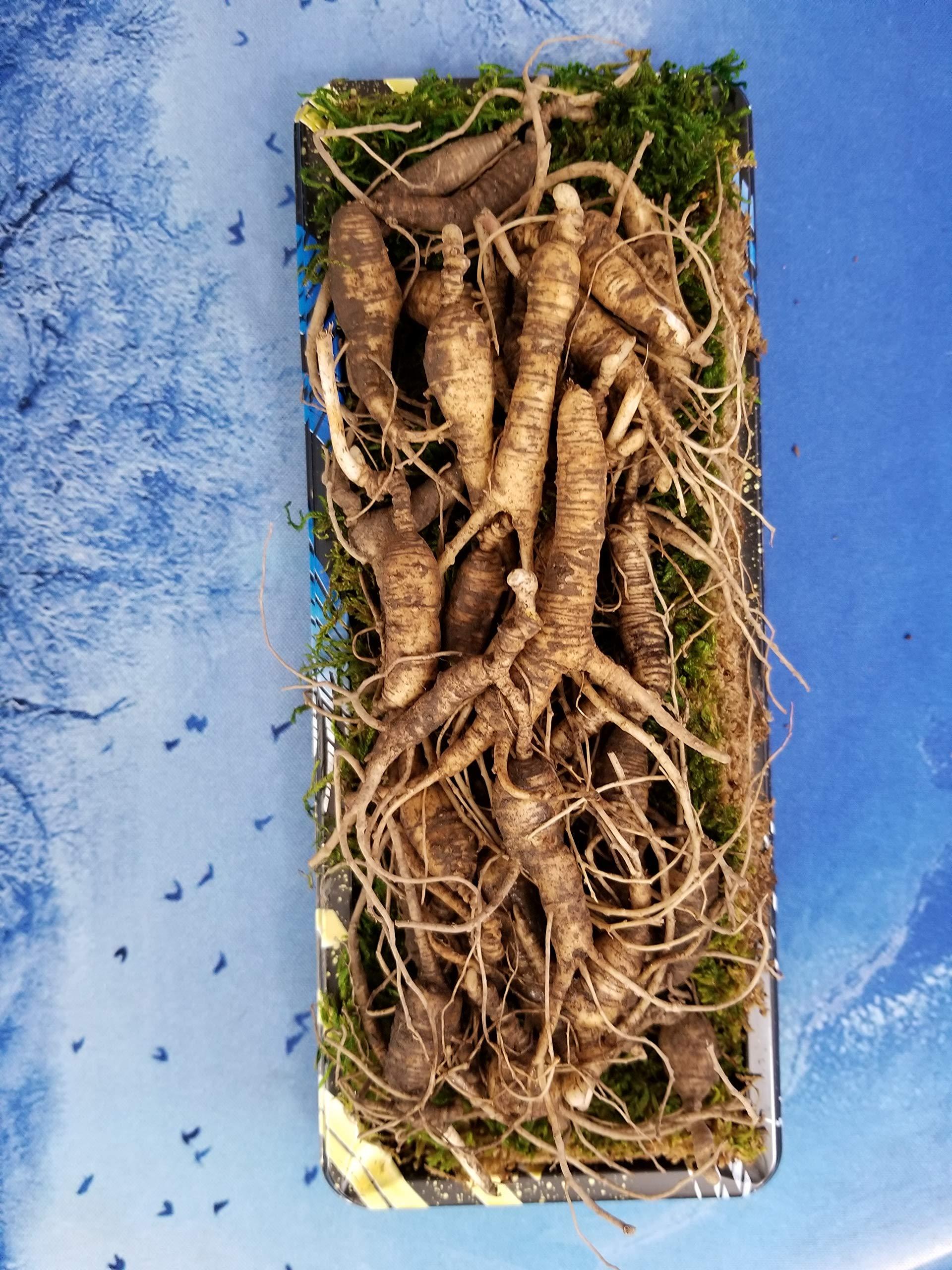 American Wild Fresh Ginseng Appalachian Mountain PANAX 100% Natural Organic Fresh Wild Ginseng Root 3 Oz Pack (10~15 Years Old, Approximately 35pcs) King of Saponin!