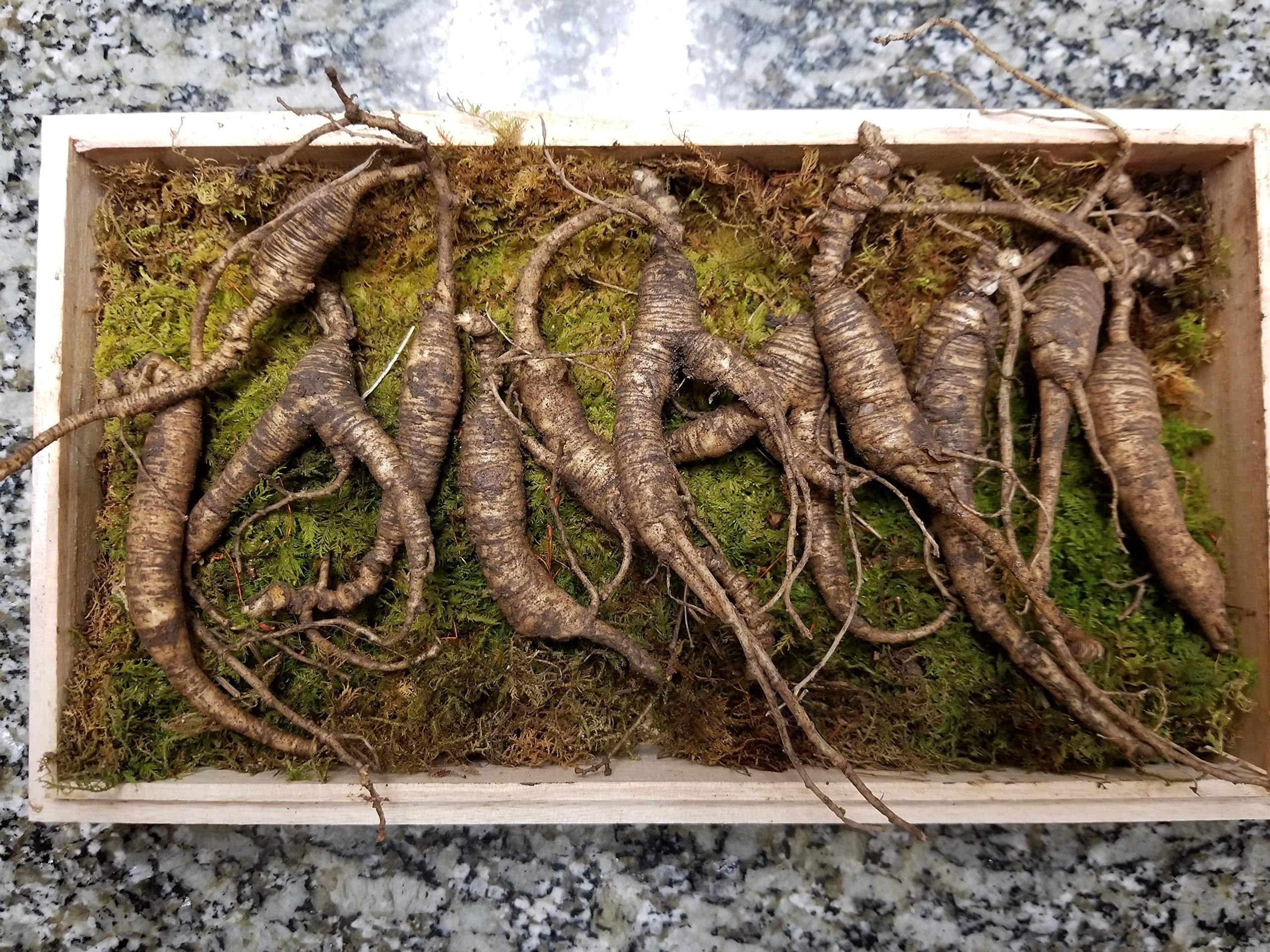 American Wild Ginseng Appalachian Mountain PANAX 100% Natural Organic Fresh Wild Ginseng Root Gift Pack (30~40 Years Old, 65 Gram) King of Saponin!