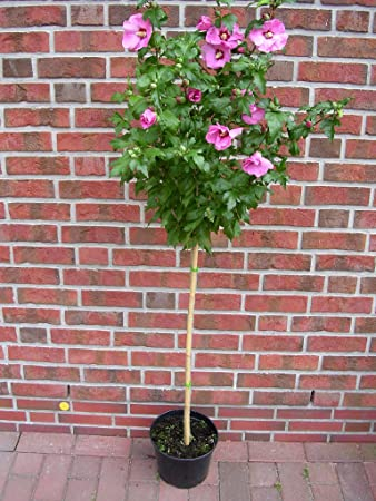 Hibiscus Syriacus Hamabo Stamm Garteneibisch Winterhart Höhe