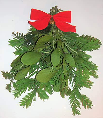 fresh large real mistletoe christmas holiday kissing decoration with california redwood and rosemary in gift bag