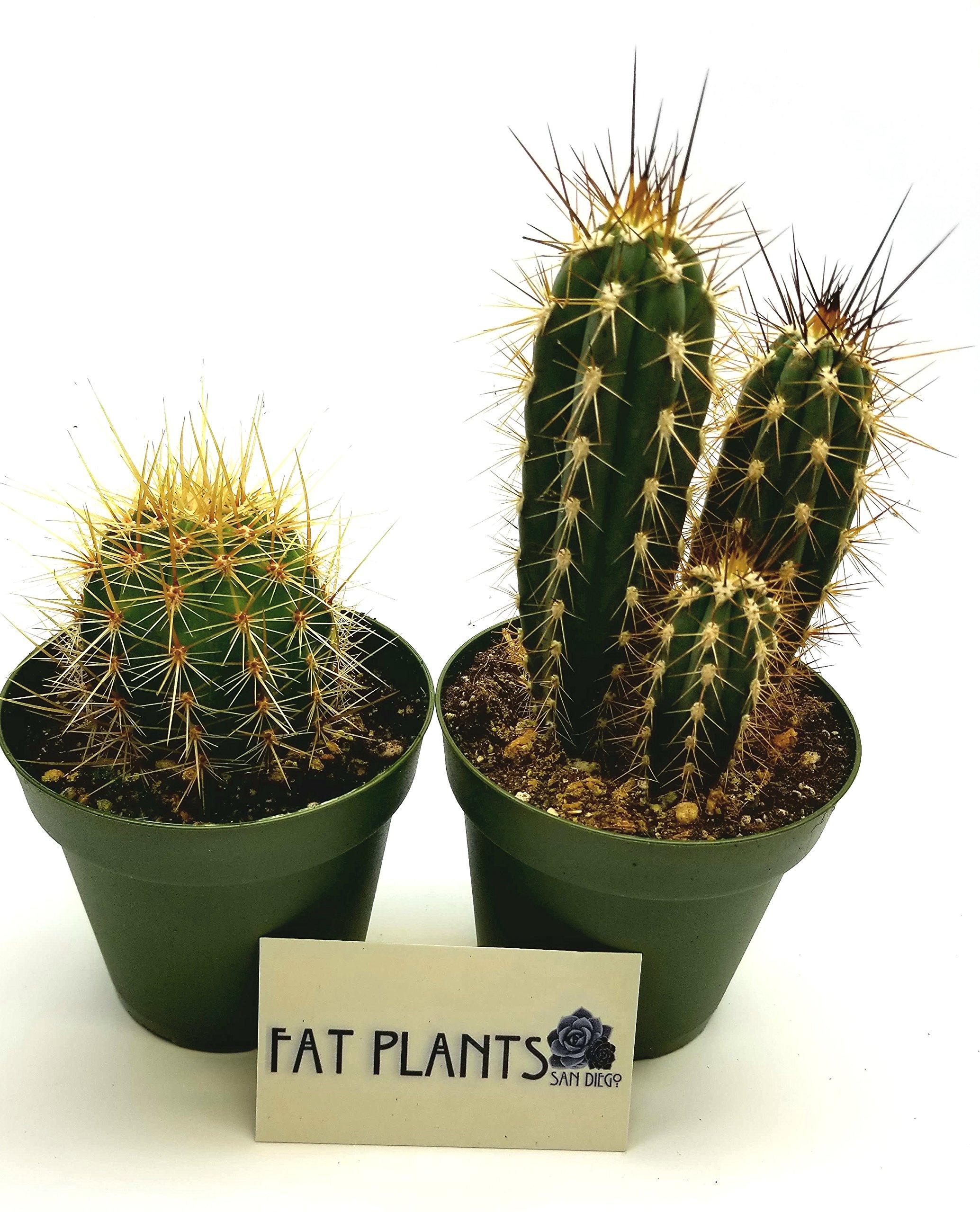 Fat Plants San Diego Large Cactus Plant(s) (2) by Fat Plants San Diego (Image #3)