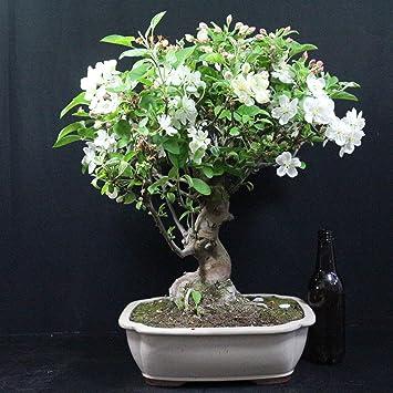 Manzano ornamental, Malus, bonsái para exterior, 18 años, altura 40 cm
