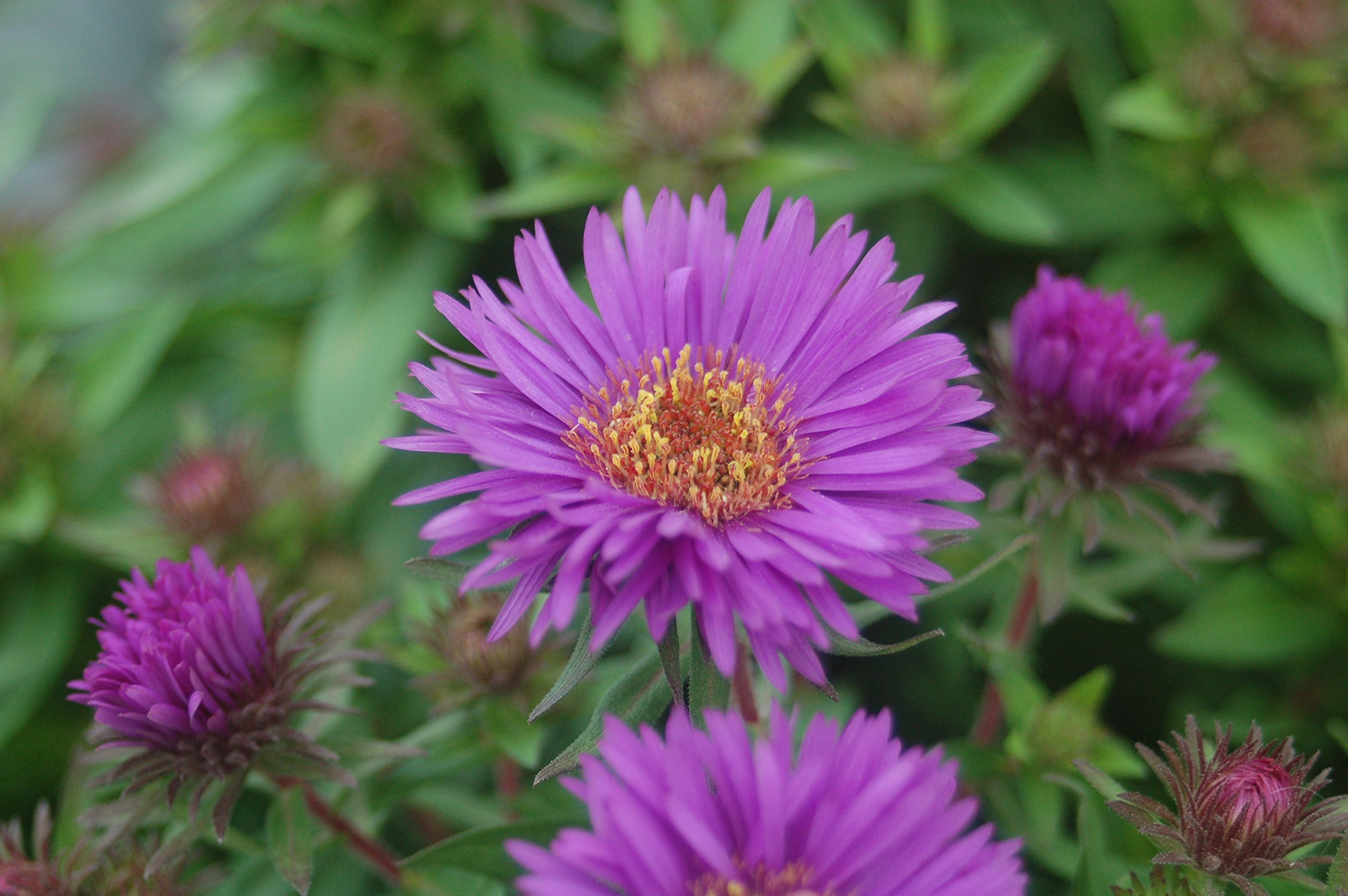 Aster novae-angliae 'Purple Dome' (New England Aster) Perennial, purple flowers, #2 - Size Container by Green Promise Farms