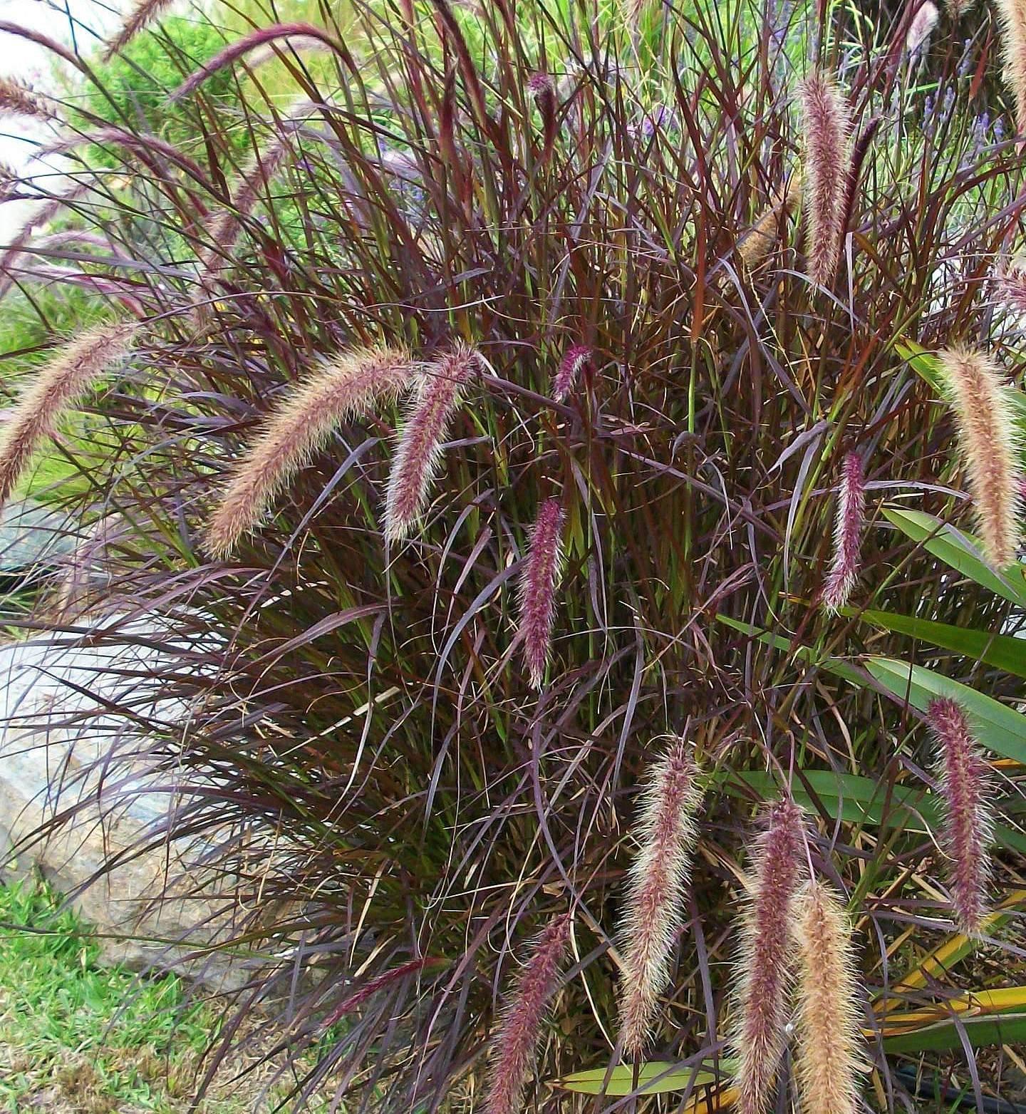 9EzTropical - Purple Fountain Grass - 1 Plants - 1 Feet Tall - Ship in 3'' Pot