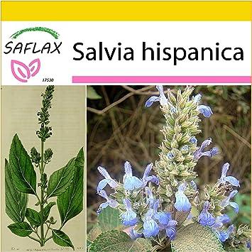 SAFLAX - Set de cultivo - Chía - 500 semillas - Salvia hispanica