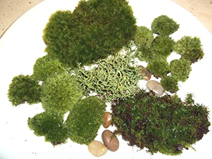 Live Moss Assortment For Terrariums   Frog, Haircap, Cushions, Lichen
