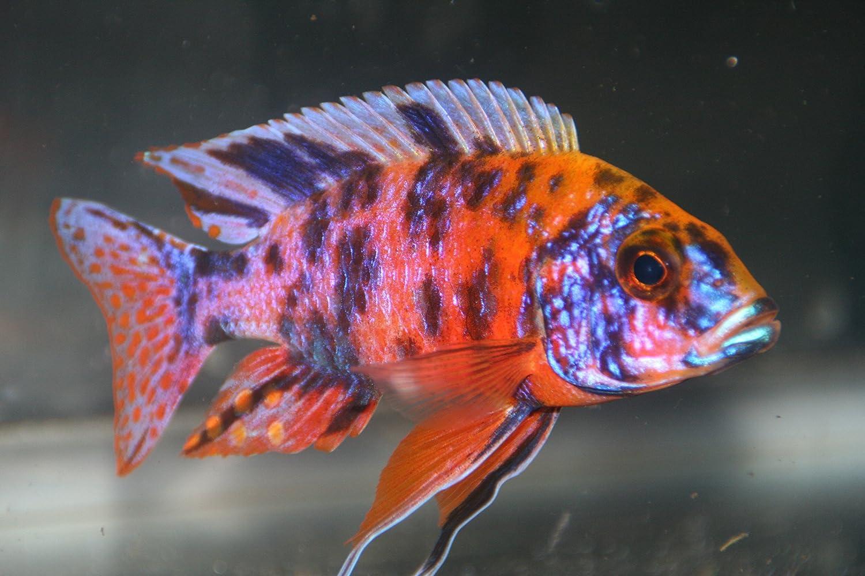 Amazon.com : WorldwideTropicals Live Freshwater Aquarium Fish - (6 ...