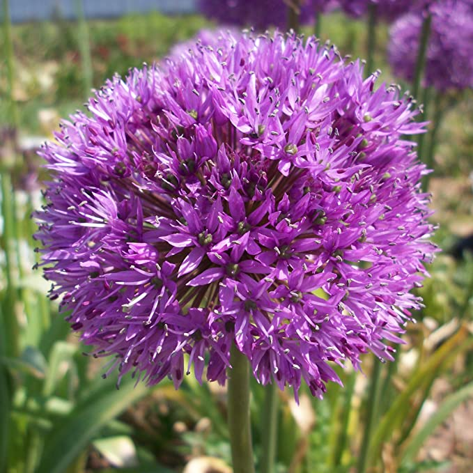 40 x Allium Hollandicum Aflatunense - Ail d'Ornement - Bulbe de Printemps Vivace