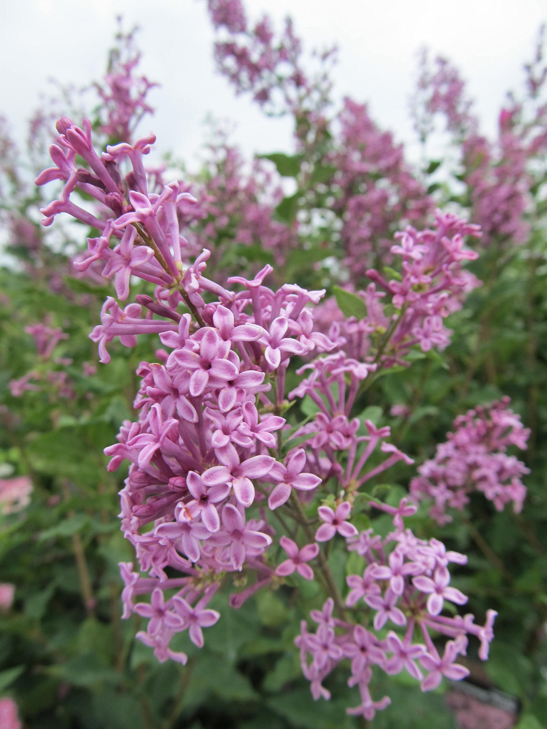 Proven Winners - Syringa x Bloomerang Purple (Reblooming Lilac) Shrub, purple flowers, #3 - Size Container by Green Promise Farms