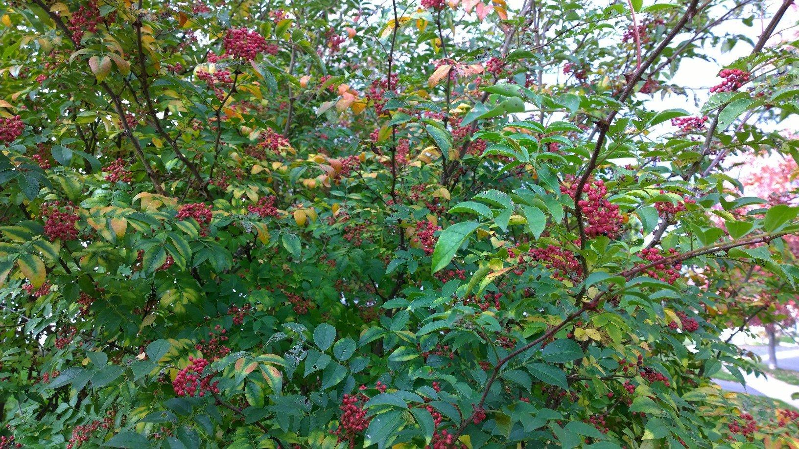 25 SZECHUAN PEPPER Peppercorn Sichuan Szechwan Zanthoxylum Simulans Spice Seeds