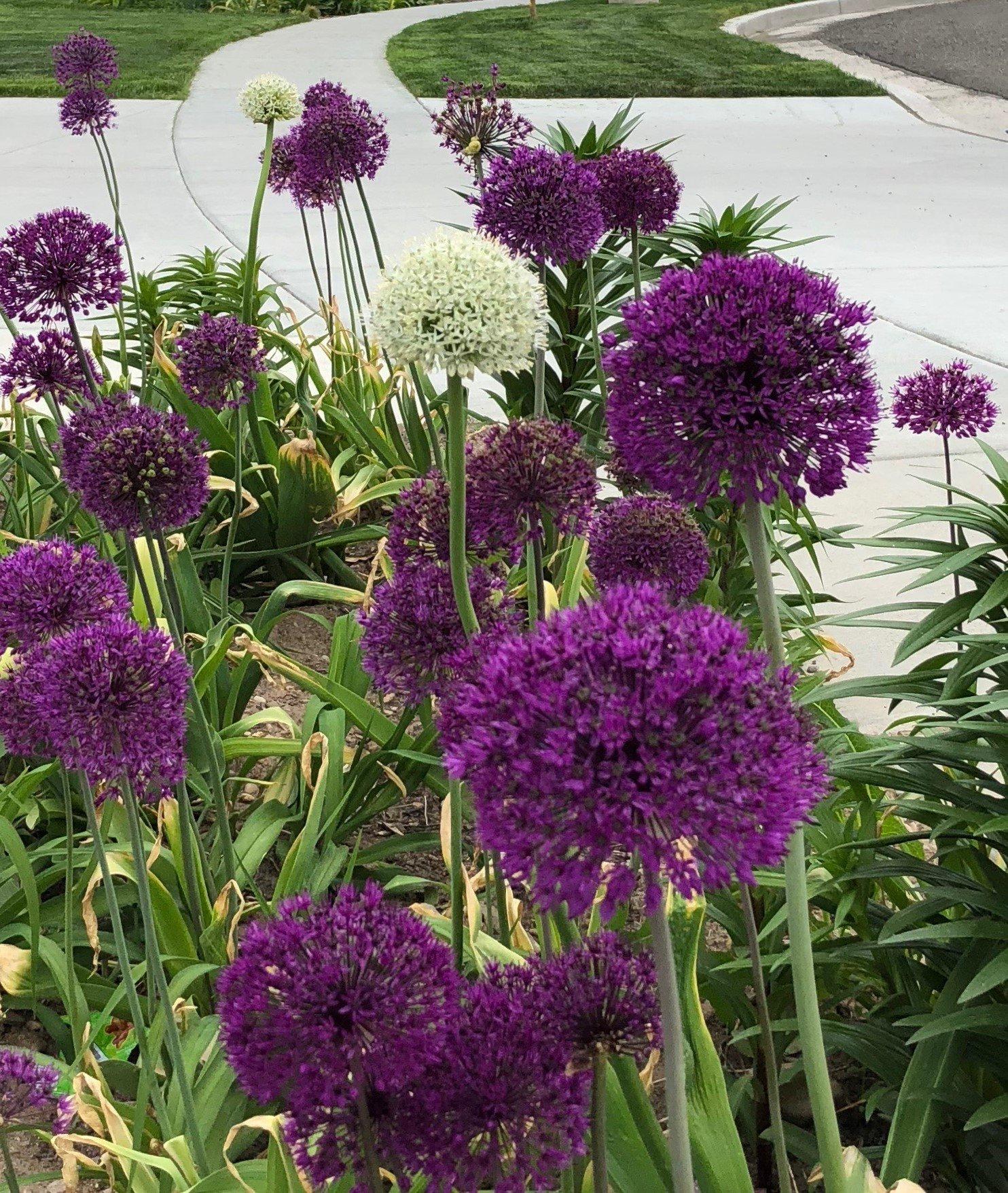 Allium Purple Blend 30 Bulbs--4-6 Inch Flower Diameter! by Daylily Nursery