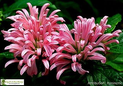 Amazon live brazilian plumeflamingo flower plants pink live brazilian plumeflamingo flower plants pink flowers 1 gallon mightylinksfo
