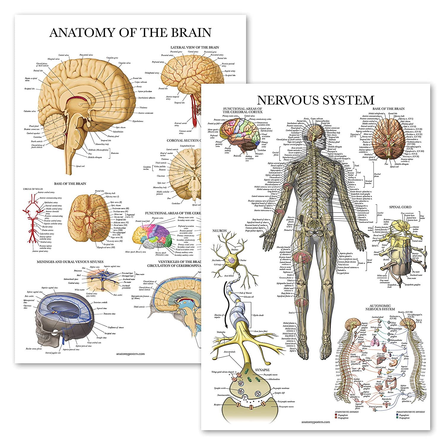 "2 Pack - Nervous System & Brain Anatomy Posters - Set of 2 Anatomical Charts - Laminated 18"" x 27"""