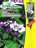 Engelstrompete Violettblau Datura Staude Kübelpflanze