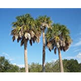 Sabal minor  buy seeds at rarepalmseedscom