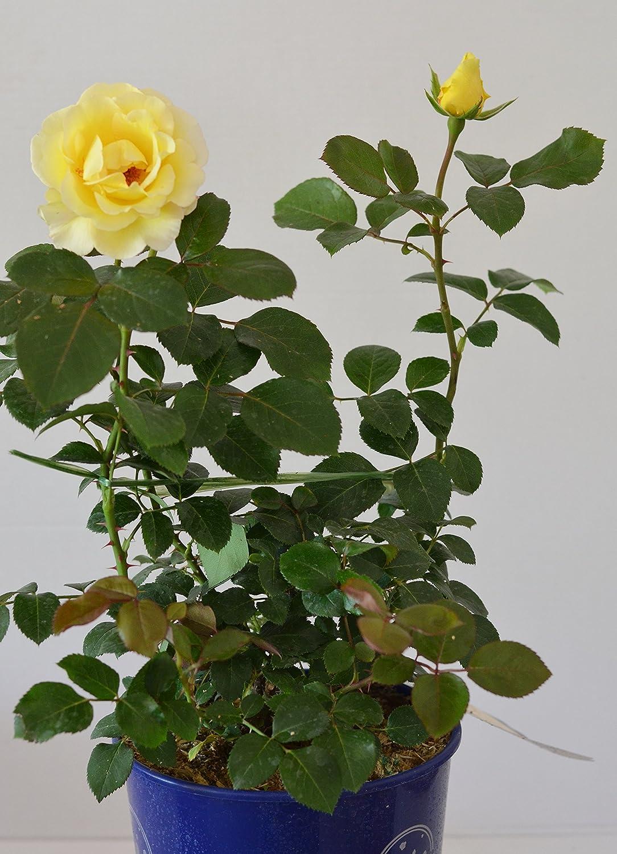 60 cm hoch im 4Liter Pflanzcontainer Edelrose Avec Amour/® jetzt ca