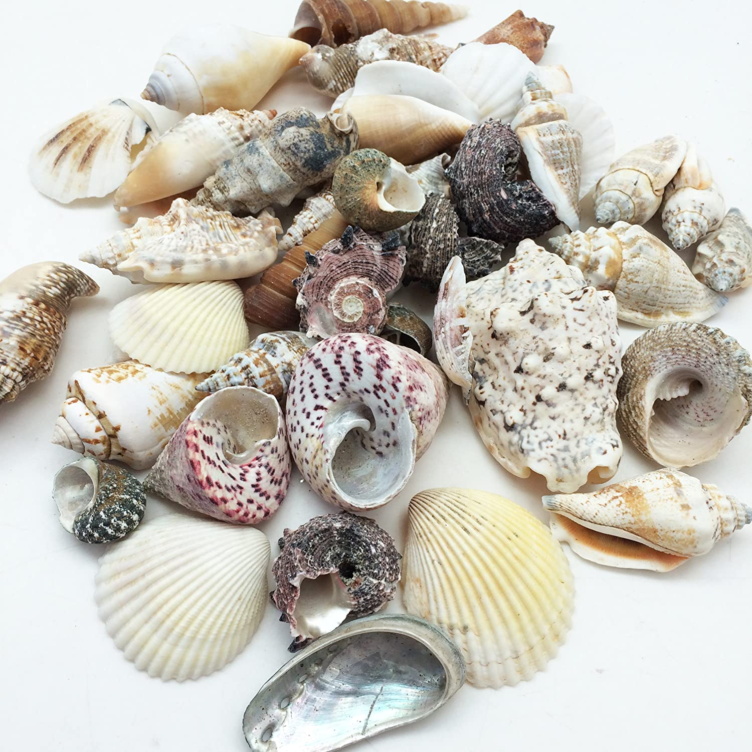 7 . Large Special Philipine Mix Shells, 1\ PEPPERLONELY Large Special Philipine Mix Sea Shells, 16 OZ Apprx. 40+ PC Shells, 1 Inch  3 Inch