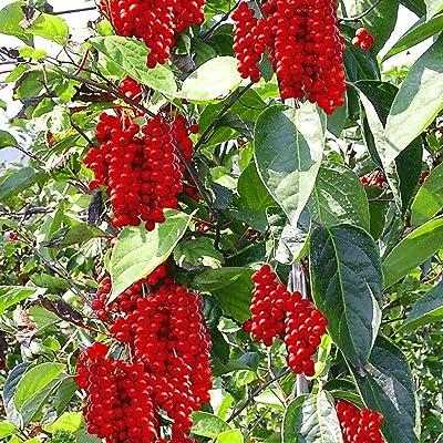 10+ Magnolia Vine Schisandra Chinensis Vine Seeds for Planting OMC-RR : Garden & Outdoor