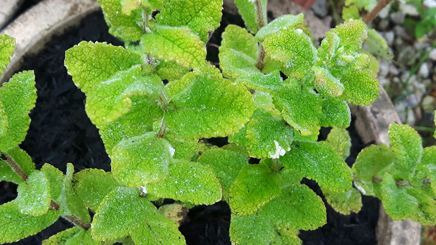 Apple Mint Mentha POMME Tough Hardy Highly Scented Mint in 7-9CM Pot