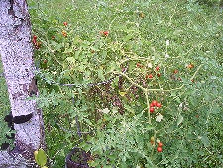 Pcs Fresh Everglades Tomato Seeds Details about  /40