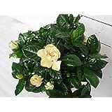 Gardenia 30cm /- ,13cm Topf