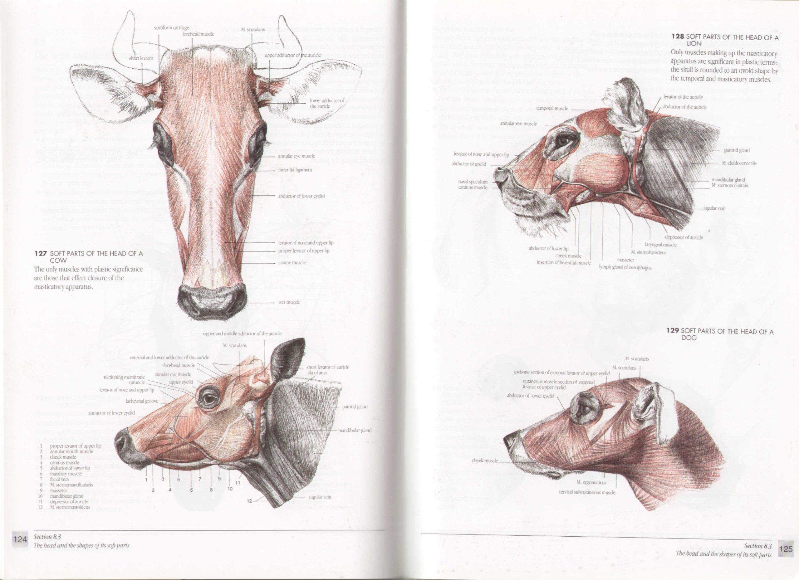Cow Anatomy Diagram Choice Image - human body anatomy