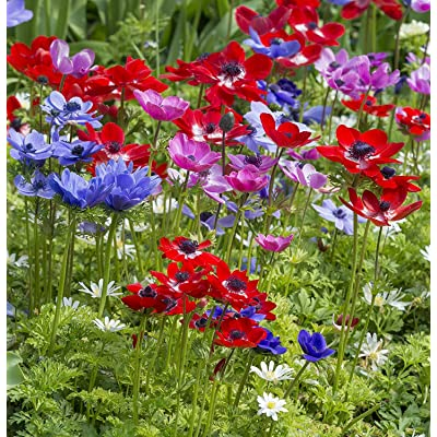50 Mixed Single Anemone Corms - TOP Size 7/8 - Anemone: Garden & Outdoor
