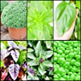 1.200 Semi di BASILICO in 6 varietà: Basilico Lime, Basilico Violetto, Basilico alla Cannella, Basilico Gigante, Basilico Greco e Basilico Genovese