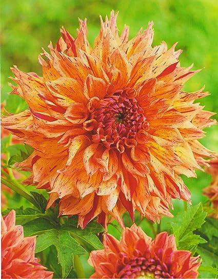 1 oder 3 Schmuck Dahlien Großblütig Avignon Knolle Blumenzwiebeln Dahlie