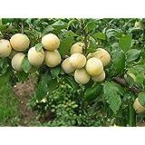 Pflaumenbaum Bellamira LH 120 - 150 cm, Pflaumen gelb-grün, Busch, mittelstark wachsend, im Topf, Obstbaum winterhart, Prunus domestica