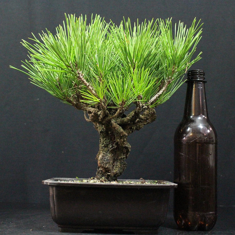 Pino japonés de Thunberg, Pinus thunbergii corticosa, bonsái para exterior, 19 años, altura 32 cm: Amazon.es: Jardín