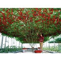 """Rare Organic Heirloom Vegetable Seeds""""Tomato Tree"""" Indeterminate. 5 Seeds."""