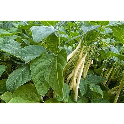 Goldrush Wax Bush - Bean Seeds : Bean Plants : Garden & Outdoor