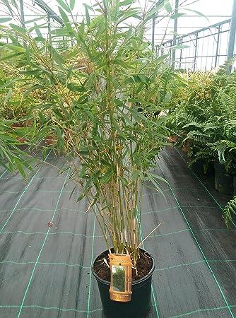 Bamboo Fargesia Robusta \'Pingwu\' 5 Litre Fast Growing Non Invasive ...