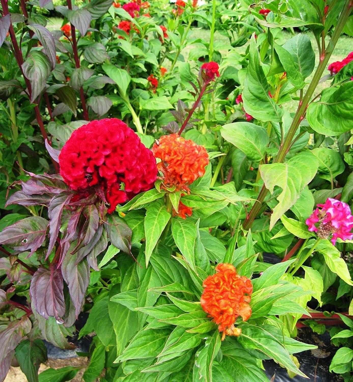 celosia, con cresta MIX, cresta de gallo, de flores de colores, 235 semillas! Groco: Amazon.es: Jardín