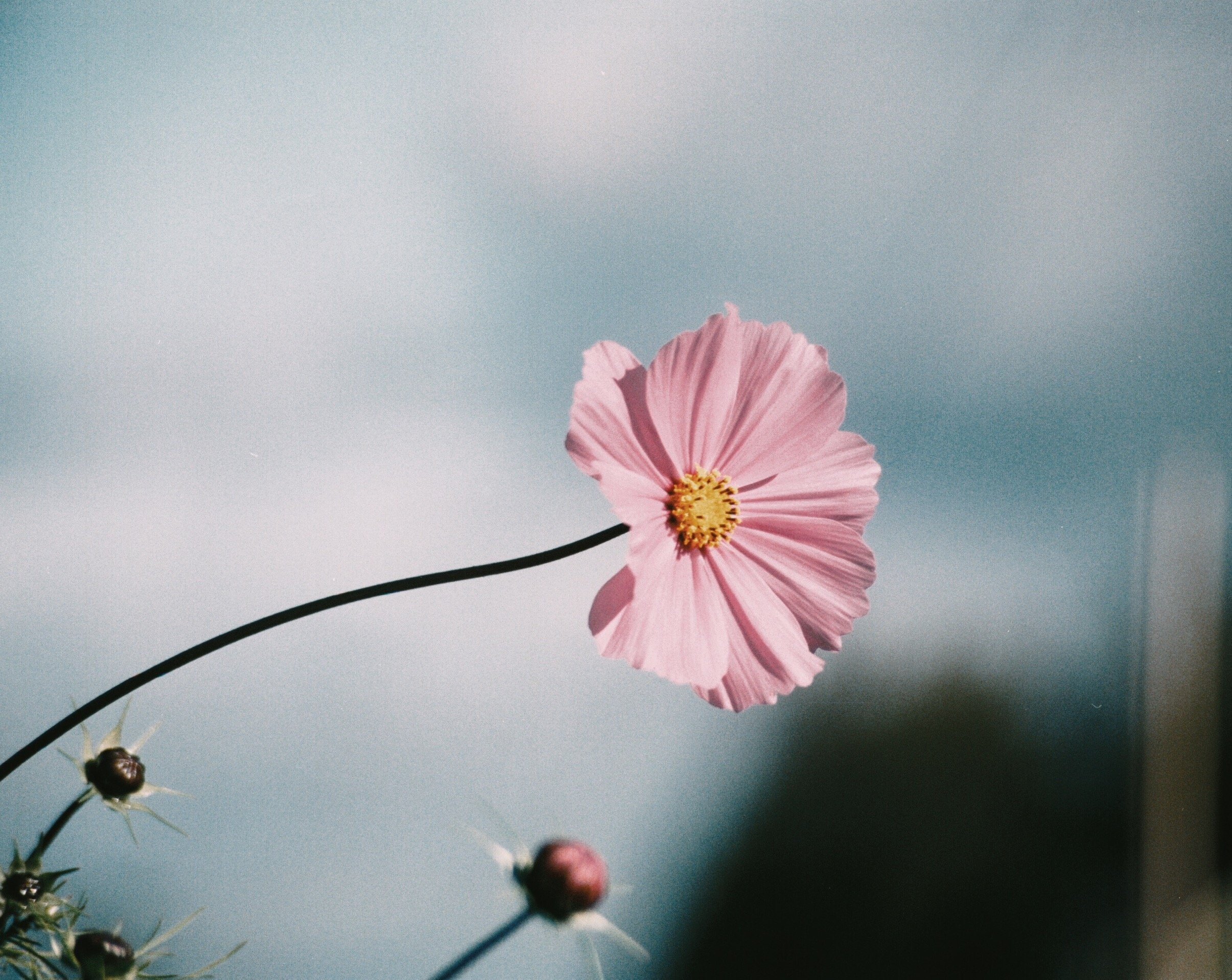 Pink Flowers by