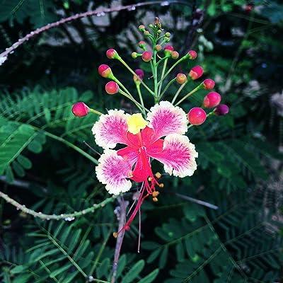 5 Tropical Seeds -Pink Peacock Flower- Tropical Plant -Zones 8+ Drought Tolerant- Loves Heat -Container Deck Gardens-Caesalpinia Pulcherrima : Garden & Outdoor