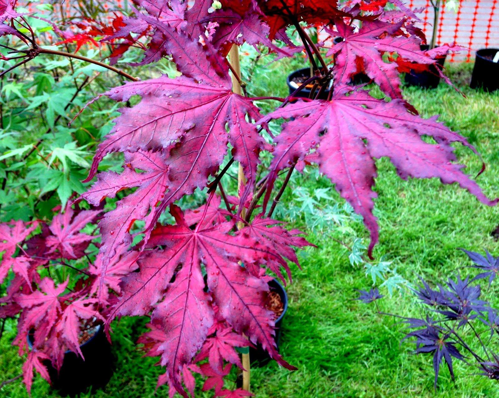 PURPLE GHOST JAPANESE MAPLE Acer palmatum Purple Ghost 2 - Year Live Plant