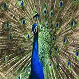 Peacock Peafowl Live Wallpaper Free