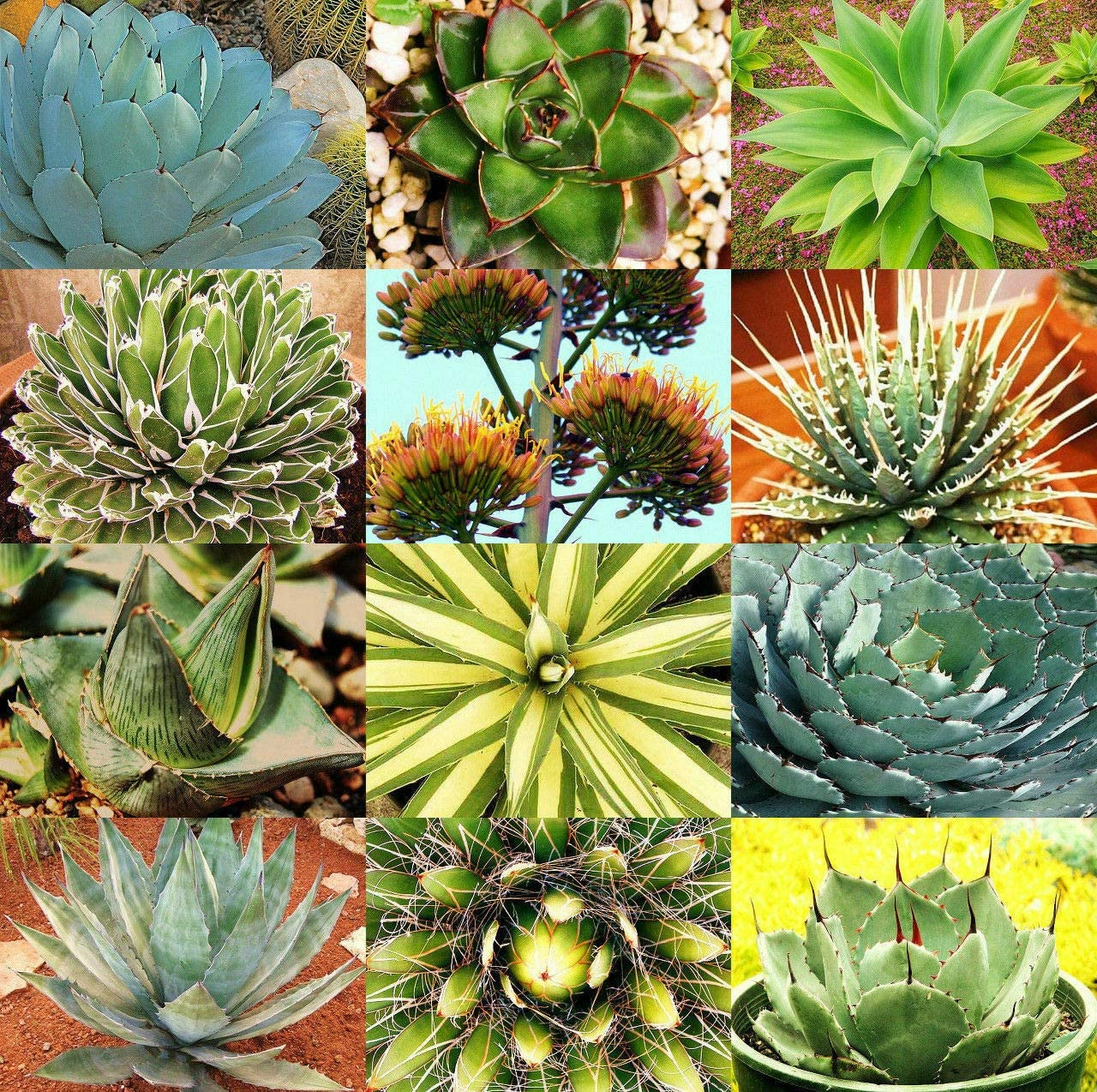 FIOLTY Seeds Package: 100 Seeds Mix Agave, Succulent Seeds, Succulent Seeds, Succulents Seed