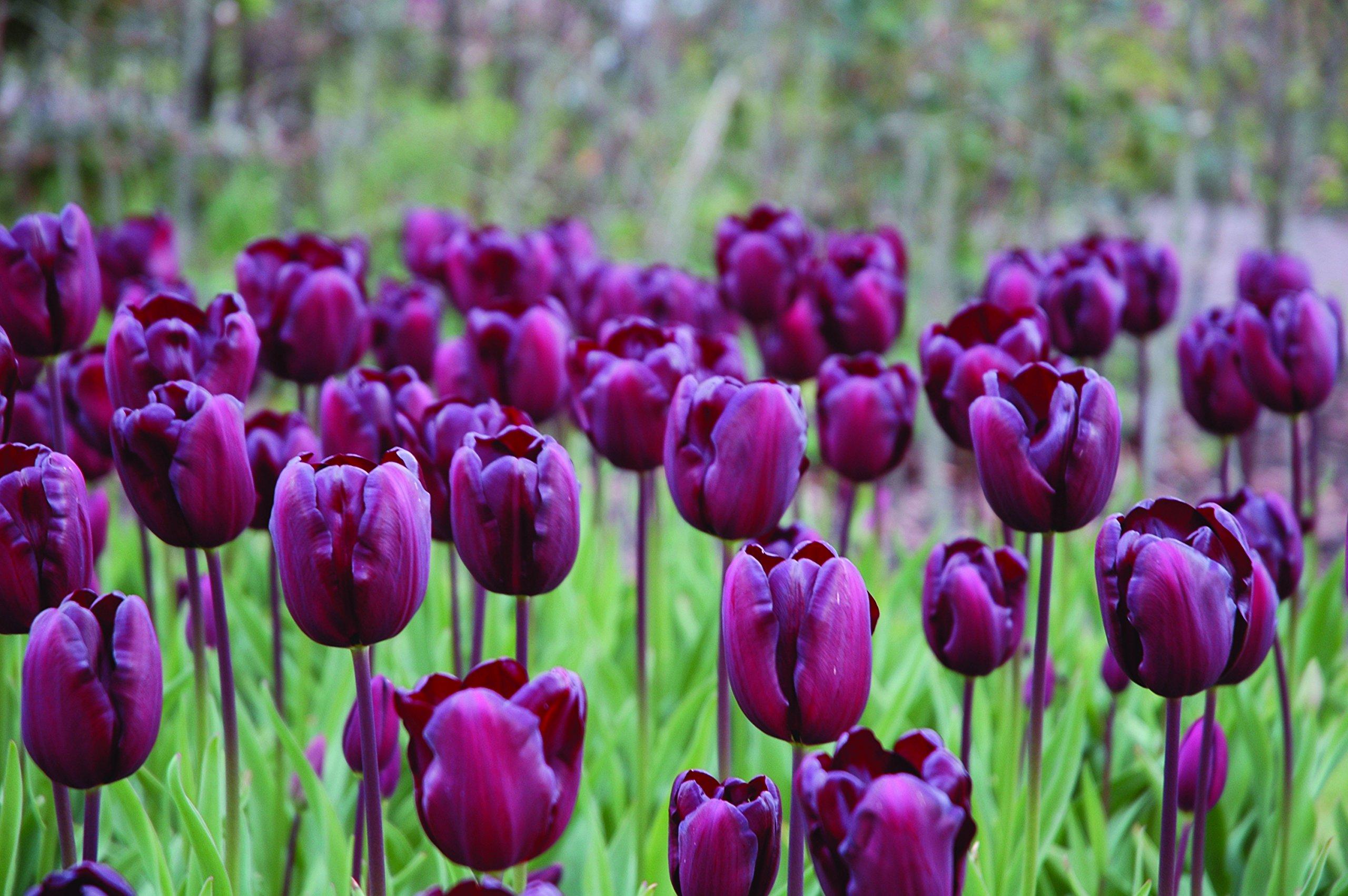 Burpee's Continental Tulip - 10 Flower Bulbs   Burgundy   12 - 14cm Bulb Diameter