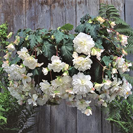 Amazon white amerihybrid tuberous begonia hanging basket 3 big white amerihybrid tuberous begonia hanging basket 3 big bulbs 4 trailing blooms mightylinksfo